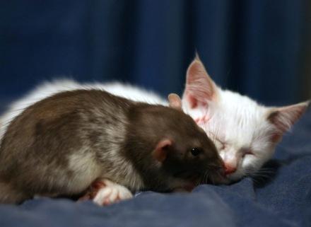 Deze rat en kat worden vriendjes
