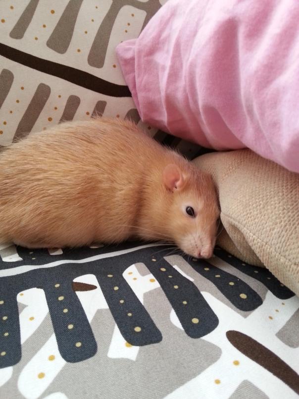 Het zoveelste dutje, naast het kussen waar Vrouwtje haar dutjes doet